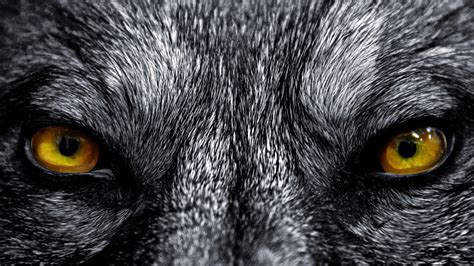 wolf backgrounds hd wolf backgrounds groovy wallpapers
