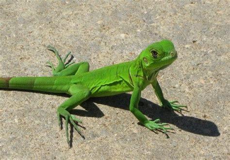 imagenes de iguanas verdes y negras que comen las iguanas donde viven como nacen