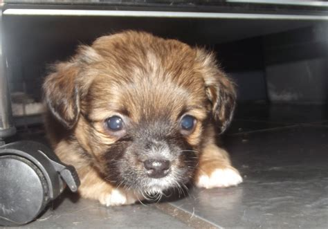 shih tzu puppies for sale sacramento pomchi x shih tzu puppies for sale last boy left canterbury kent pets4homes