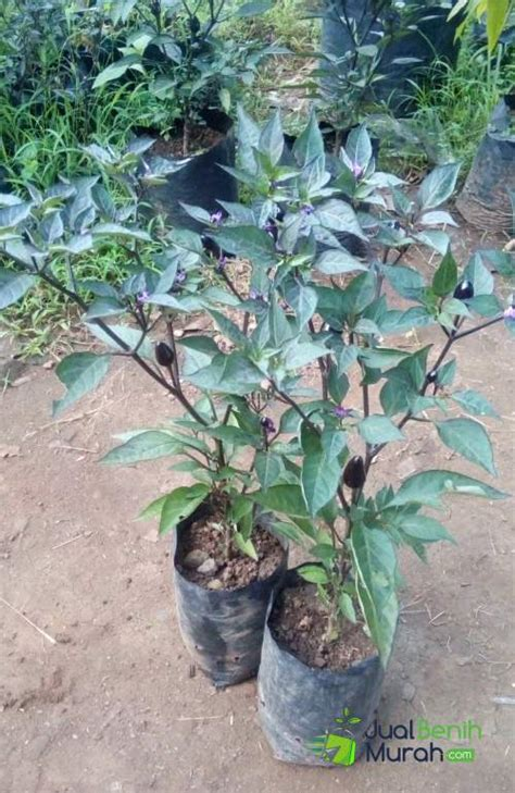 Bibit Cabe Per Polybag bibit cabe black royal jualbenihmurah