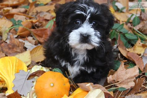 havanese breeders near me havanese puppy for sale near indianapolis indiana fd592a4a 2ea1