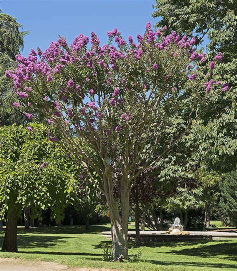 tree of l lagerstroemia indica wikip 233 dia