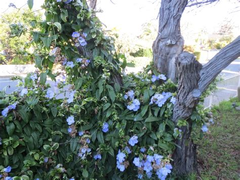 exles of climbing plant 106 best images about climbing plants on sweet