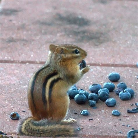 chipmunk blueberries flickr photo