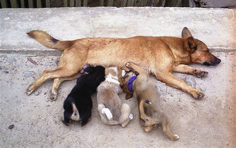 at what age do dogs go in heat the heat cycle of the the paw