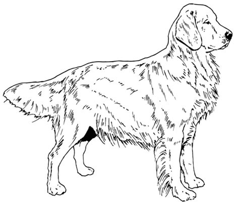 coloring pages of golden retriever puppies golden retriever dog coloring page free printable