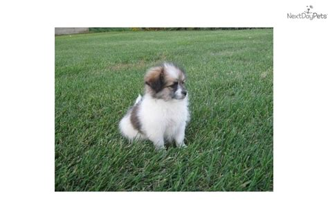 puppies for sale in grand forks nd shiranian see details breeds picture
