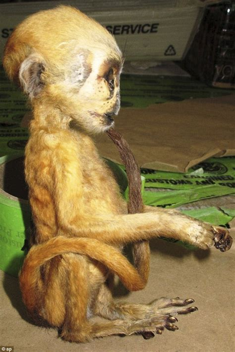 Protection For Weirdest Species by Customs Officers Seize Dead Monkey And Elephant At
