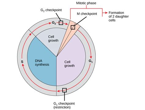 2 proteins that regulate the cell cycle 10 3 of the cell cycle biology libretexts