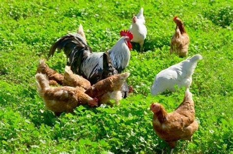 h 252 hnerzucht im allgemeinen wohngebiet - Hühnerhaltung Wohngebiet
