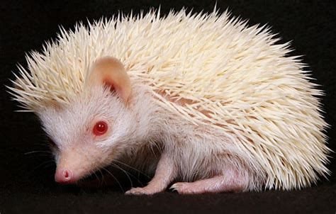 african pygmy hedgehog animal pictures  facts