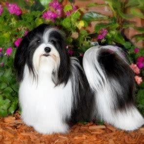 havanese breed standard havanese breed standard info pet it apparel