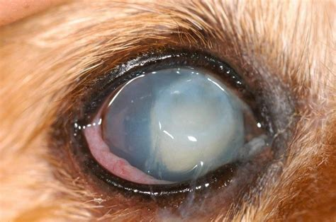 cataracts in dogs cataracts in dogs the race against time