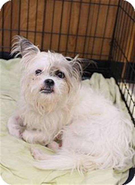 yorkie puppies for adoption in pa media pa yorkie terrier maltese mix meet patch a for adoption
