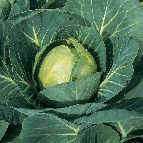 Types of Cabbage   Growing Cabbages All Year Round