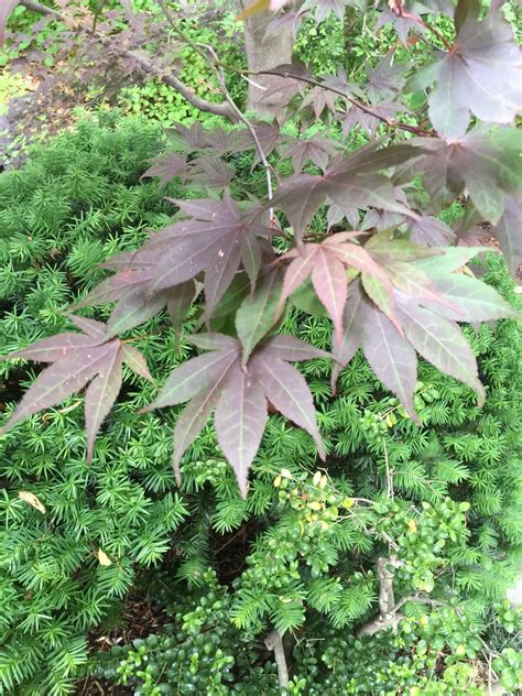 planting next to japanese maple what are good companions for japanese maples
