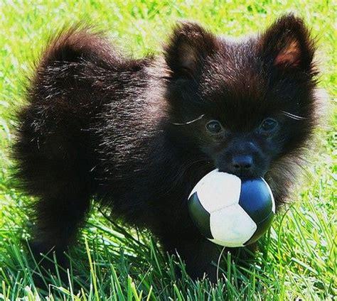 baby black pomeranian 25 best ideas about black pomeranian on baby pomeranian baby bears and