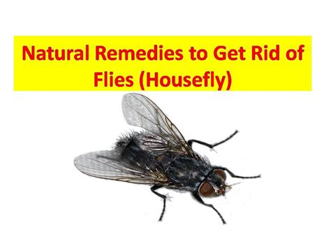 how to get rid of flies in the house naturally how to