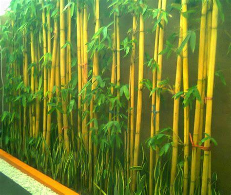jual tanaman bambu hias bambu jepang bambu air kuning
