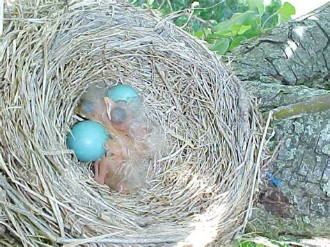 robins from hatching to flying