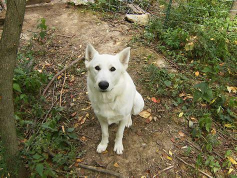 anatolian shepherd puppies craigslist anatolian shepard hybrids breeds picture