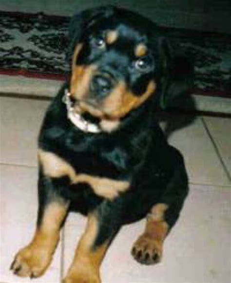 chihuahua mixed with rottweiler rottweiler chihuahua mix dogs