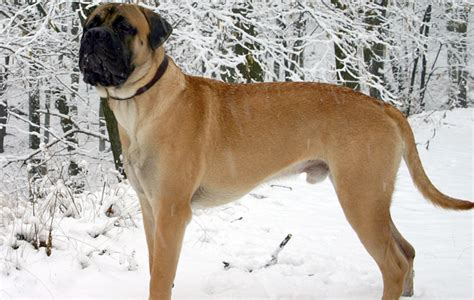 best house guard dog best guard dog breeds deter burglars with a fearsome friend the field