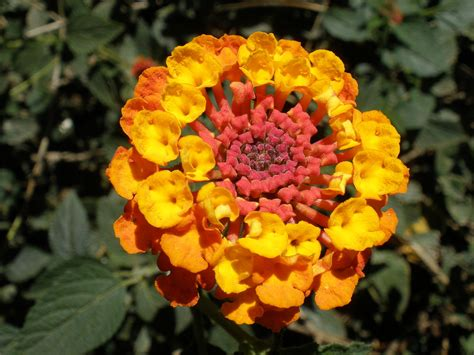 size of lantana file orange and yellow lantana camara jpg wikimedia commons