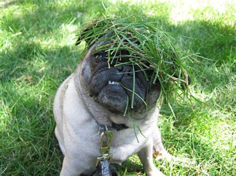 camo pug camouflage posey pugs other precious pups