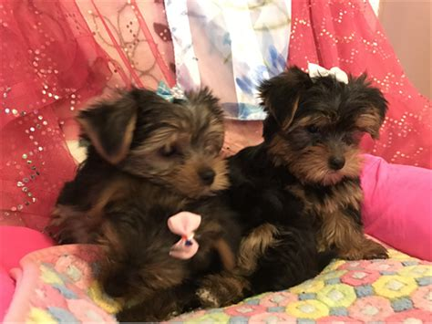 poway yorkies yorkie puppies and pets poway ca recycler
