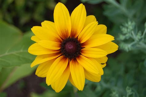 foto fiori gialli foto gratis fiore giallo margherita natura immagine