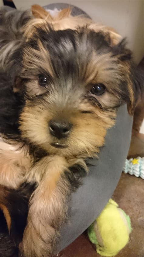 yorkshire terriers for sale yorkshire terriers for sale telford shropshire pets4homes