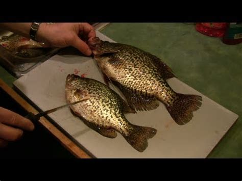 fillet a crappie how to fillet a crappie bonus how to tell the difference