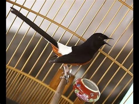 kicau burung murai batu youtube kicau burung murai batu kalimantan gacor singing of murai