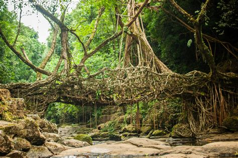 what is root bridge living root bridge at riwai village the travelling slacker