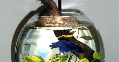 Small Heater For Betta Fish Bowl Small No Heater The Betta S Fins Are Already Showing