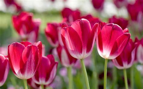 most beautiful flowers around the world tulips most beautiful flowers in the world pictures