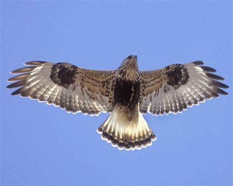 rough legged hawk rough legged hawk audubon field guide