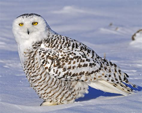 young snowy owl photograph by tony beck