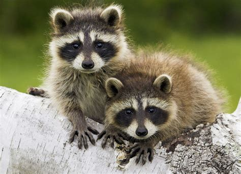 how to get rid of a raccoon in your backyard getting rid of raccoons the tree center