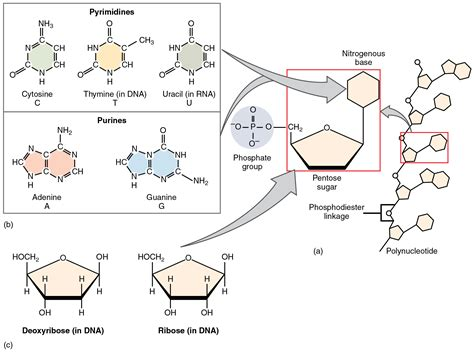carbohydrates nucleotides nucleotide metabolism purines and pyrimidines