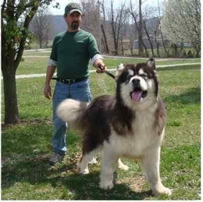 giant alaskan malamute on couch best 20 giant alaskan malamute ideas on pinterest giant