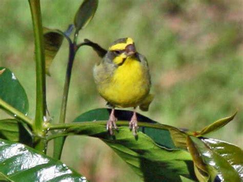 bilder speisesã len fotos de canario de mozambique aves webanimales