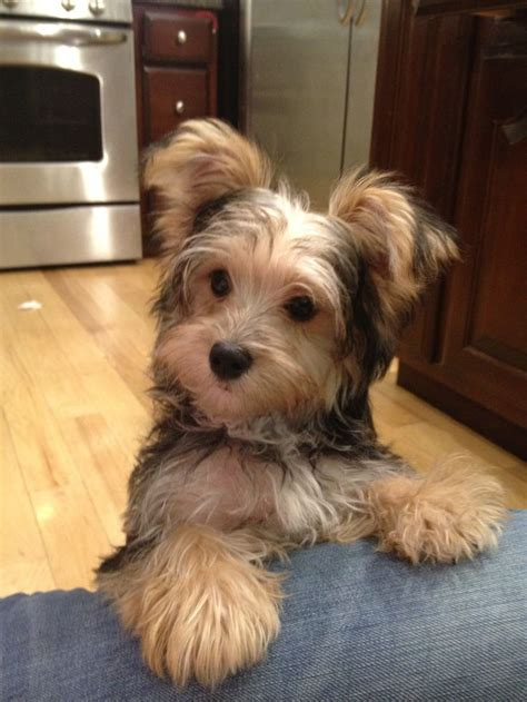 puppy haircuts for yorkie maltese mix milo my morkie my style pinterest dog yorkies and