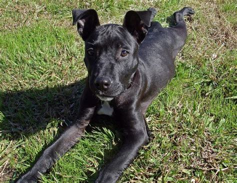 black pitbull puppy black pit bull puppy looking up to the jpg 6 comments hi res 720p hd