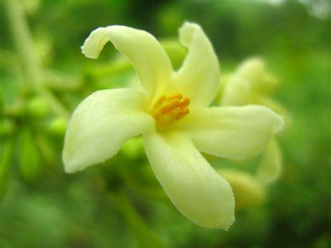 Pupuk Untuk Bunga Kenanga bunga tropis jenis jenis bunga di daerah tropis