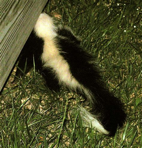 Removing Skunks From Shed How To Deal With Skunks Living Your Deck