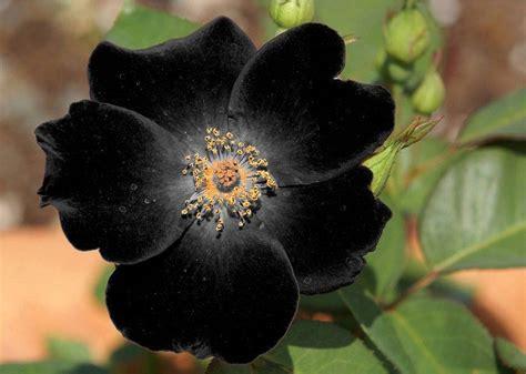 beauty of black flowers xcitefun net