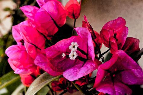 bouganville fiore bouganville foto immagini piante fiori e funghi
