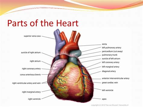 sections of the heart the human heart